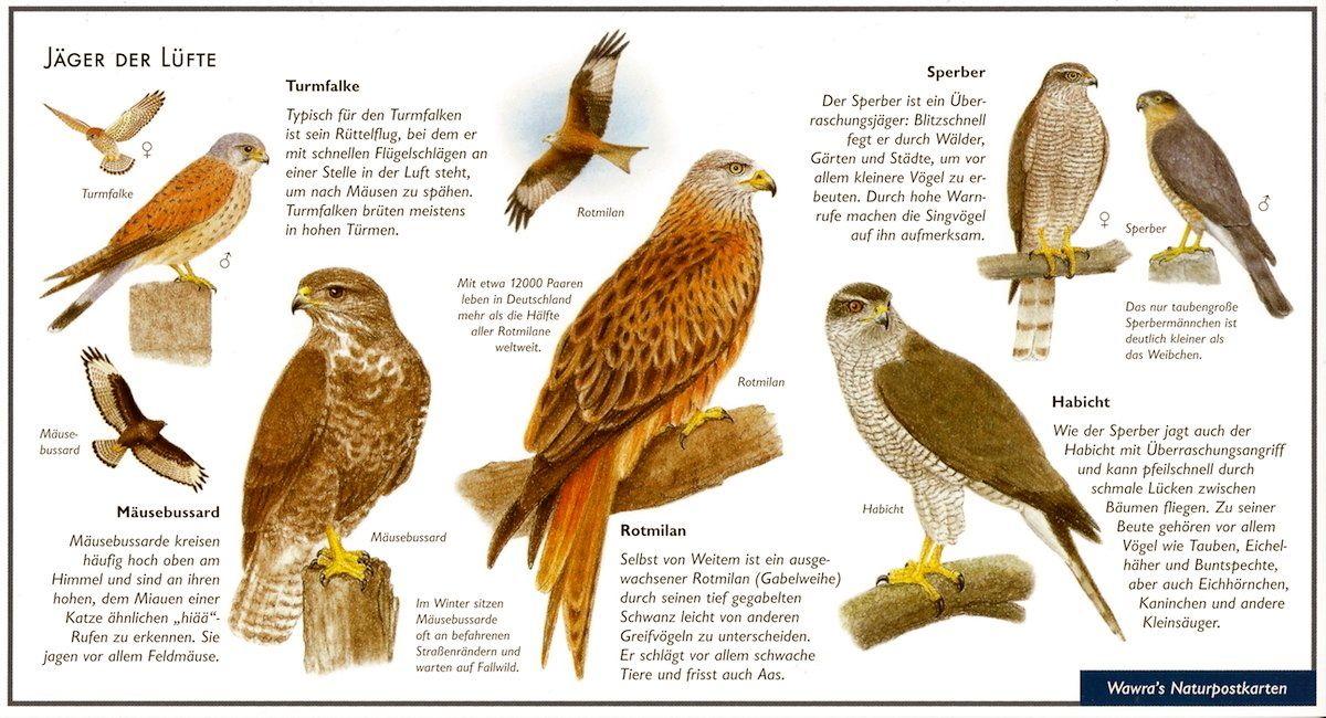 Greifvögel Jäger der Lüfte Kleine vögel, Natur, Tierspuren