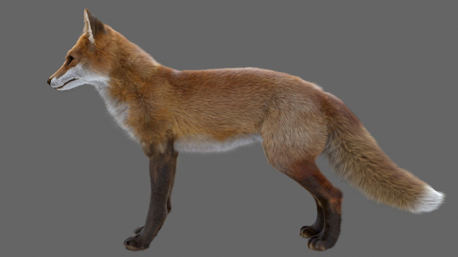 red fox side view - Go...