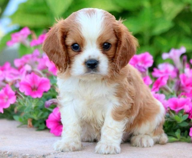 Cavalier King Charles Spaniel (With images) King charles