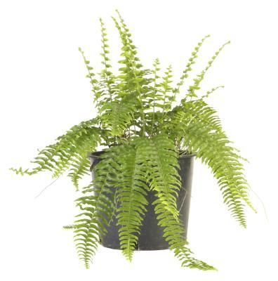 How Can I Revive Almost Dead Boston Ferns? | 6  Outdoors