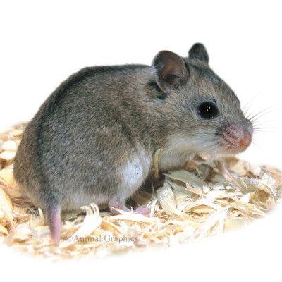 Male Chinese Dwarf Hamster Live Small Pets Petsmart Dwarf