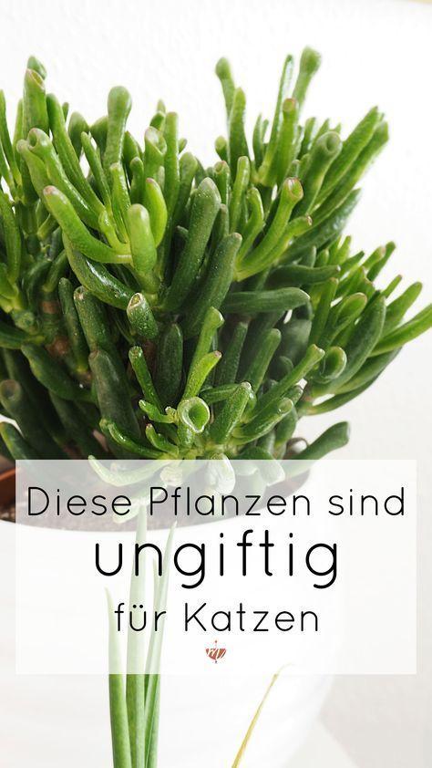 welche pflanzen sind ungiftig f r katzen kratzb ume pinterest zimmerpflanzen pflanzen. Black Bedroom Furniture Sets. Home Design Ideas