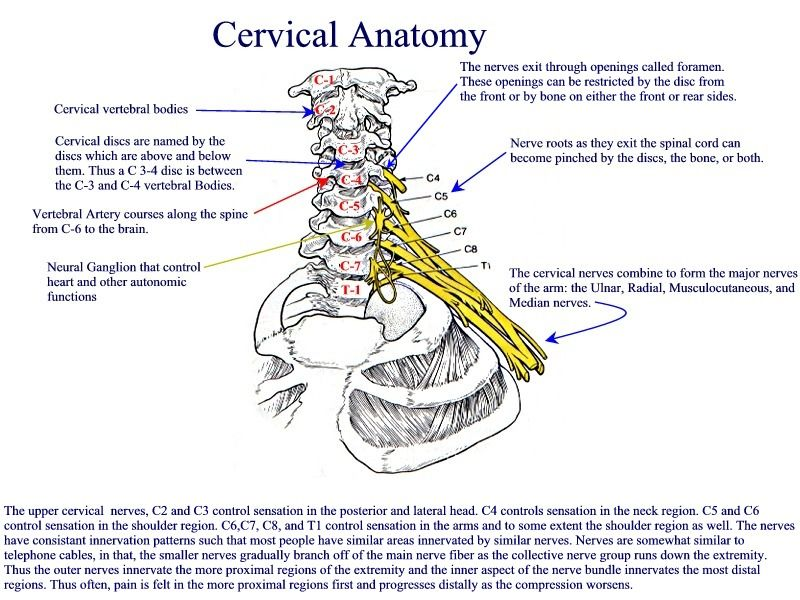 Cervical spine skeletal anatomy. | What to Do: Neck | Pinterest ...
