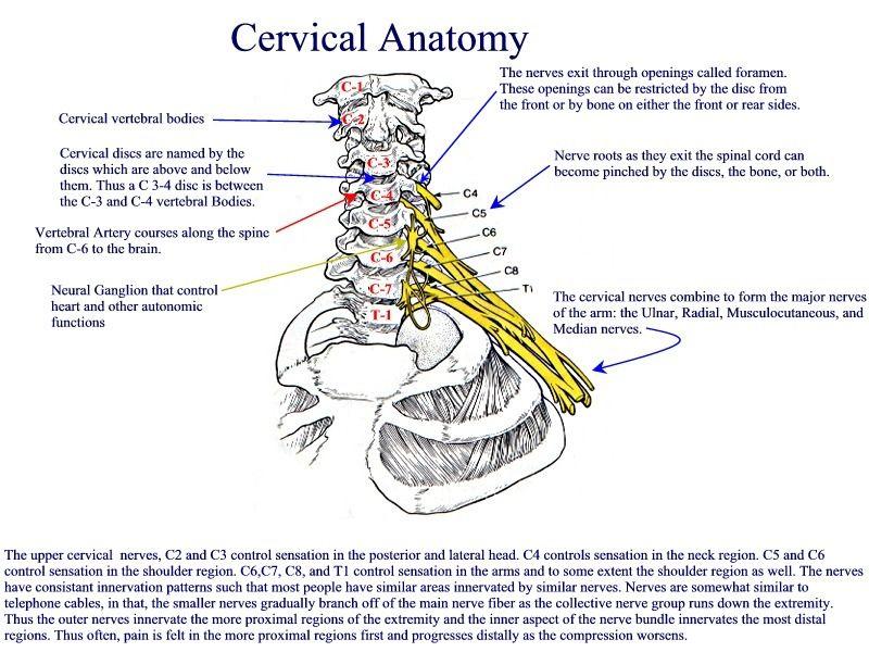 Cervical Spine Skeletal Anatomy What To Do Neck Pinterest
