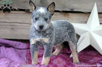Cattle Dog Puppy I Hope To Have One Of These For My Very Own By