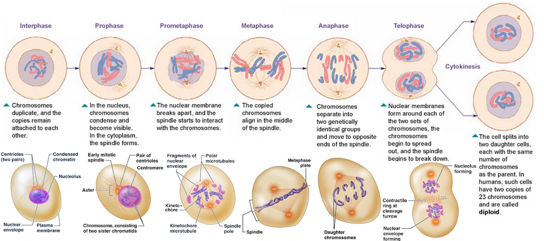 Mitosis | Genes and genetics | Mitosis, Cell cycle, Cycle ...