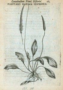 Plantago maxima hispanica. (1635)  nypld