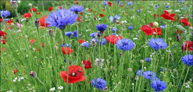 Wild Flower Meadow Mix Wild flower meadow, Flower seeds