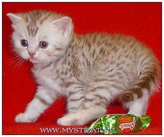 British Shorthair Cat Chocolate Silver Spotted British Shorthair Cats British Shorthair American Shorthair Cat