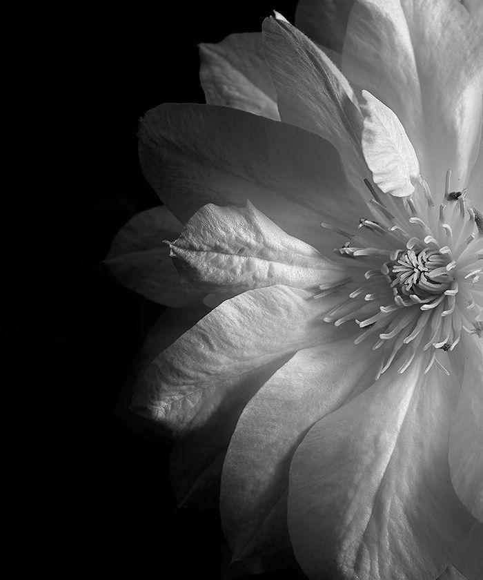 Clematis - Dawn LeBlanc