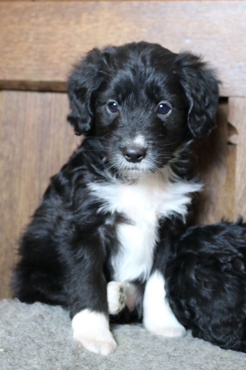 Teddy Bear F1 Colliedoodles Blue Merle Black White Bordoodle