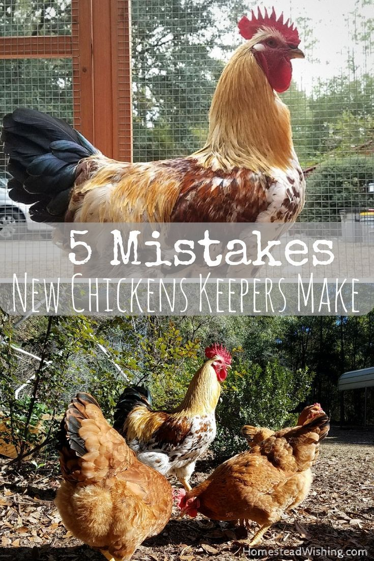 Mistakes new chicken keepers make. Raising chickens is ...