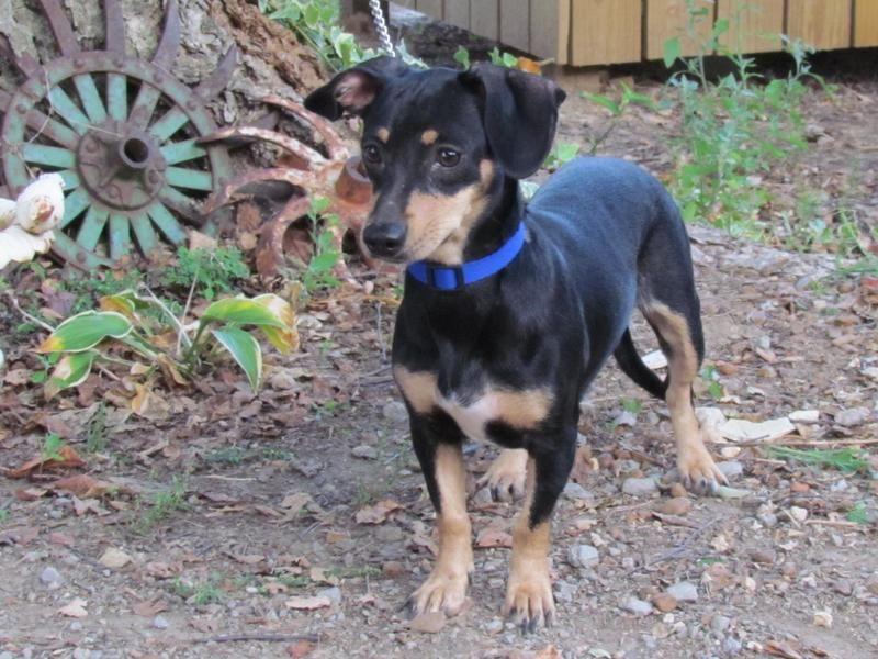 Adopt BITTY on Petfinder Dachshund mix, Animals, Dachshund