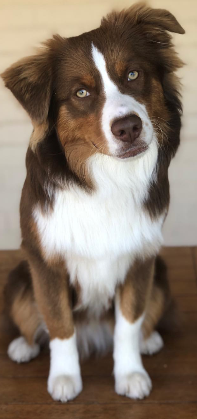 Photo of Australian Shepherd Dog Breed Information, Popular Pictures | FallinPets