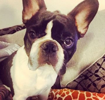 Our French Bulldog, Darcy, looking slightly grumpy!
