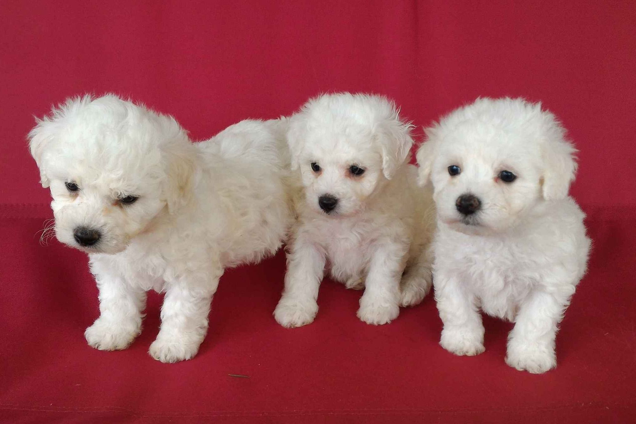 Bichon Frise Puppies Has Bichon Frise Puppies For Sale In