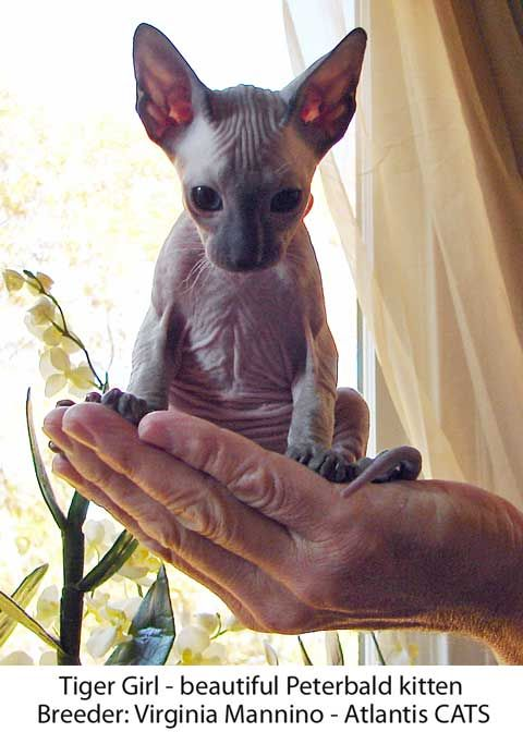 Peterbald cat - from Atlantis cats  Virginia Mannino