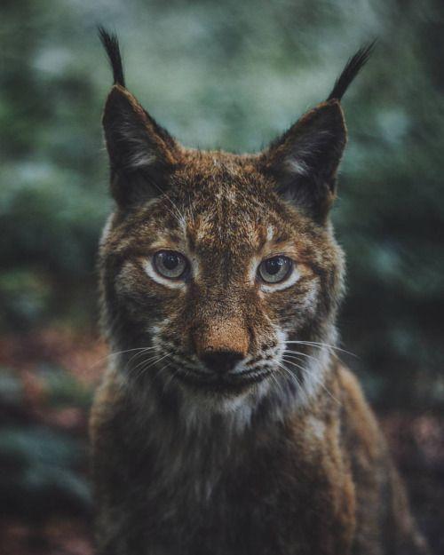 "livingitrural: ""What does the lynx say? (at Gangelt) """