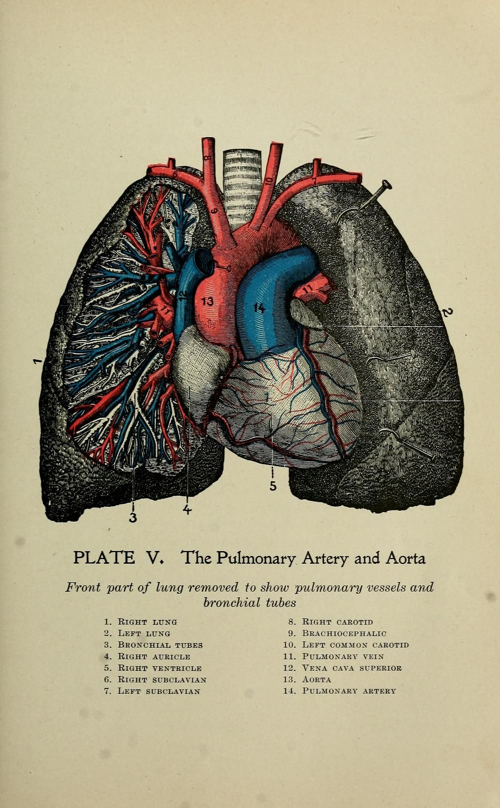 The pulmonary artery and aorta. \'The practical guide to health : a ...
