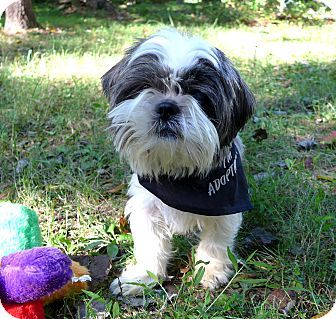 Mocksville Nc Lhasa Apso Shih Tzu Mix Meet Gracie A Dog For