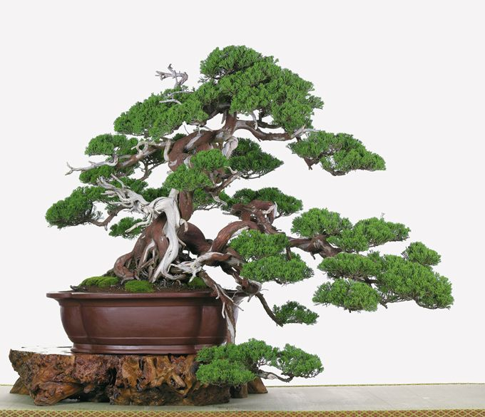 Chinese juniper bonsai tree | Bonsai | Pinterest | Juniper ...