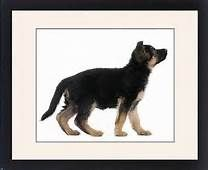 long haired german shepherd items - Yahoo Image Search Results