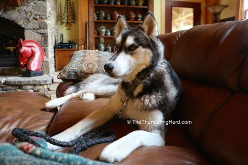 What Is The Difference Dogs Husky Animals