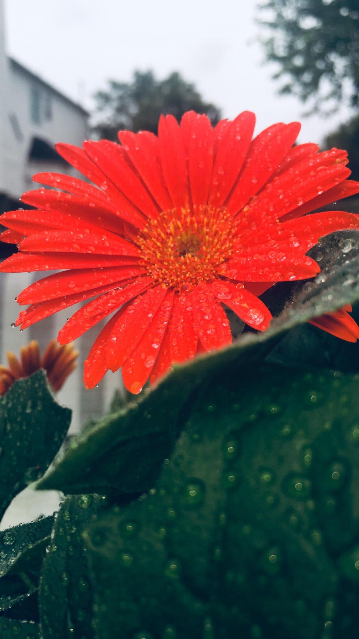 iPhone 11 Wallpaper Red flower 4K HD Download Free HD