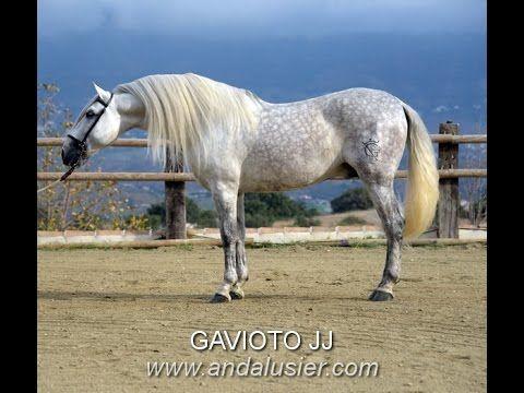 GAVIOTO JJ PRE Hengst stallion www.andalusier.com - YouTube