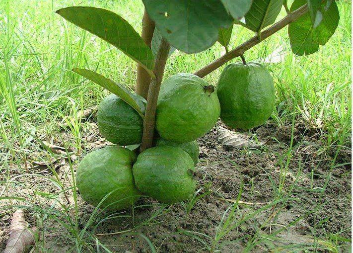 Dwarf Guava Tree สวนคร ว การปล กพ ช ผลไม