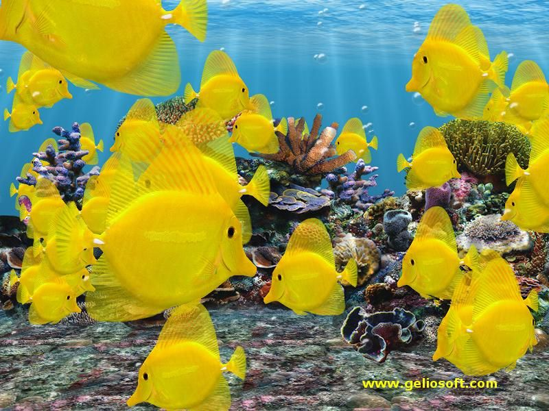 Popular aquarium salt water fish is called the Yellow Tang fish, also known as Zebrasoma Flavesenes or even the Naughty Tang. It is found in the Pacific Ocean north of the equator from Japan to Hawaii at depths of 3 to 46 meters. A very popular aquarium fish too.