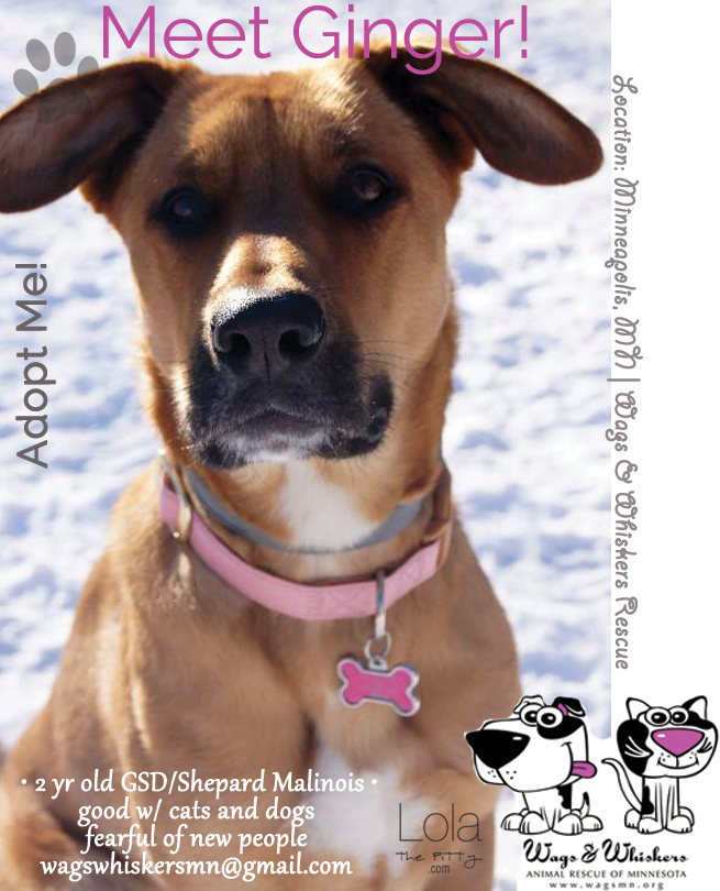 Ginger Adoptable Dog of the Week