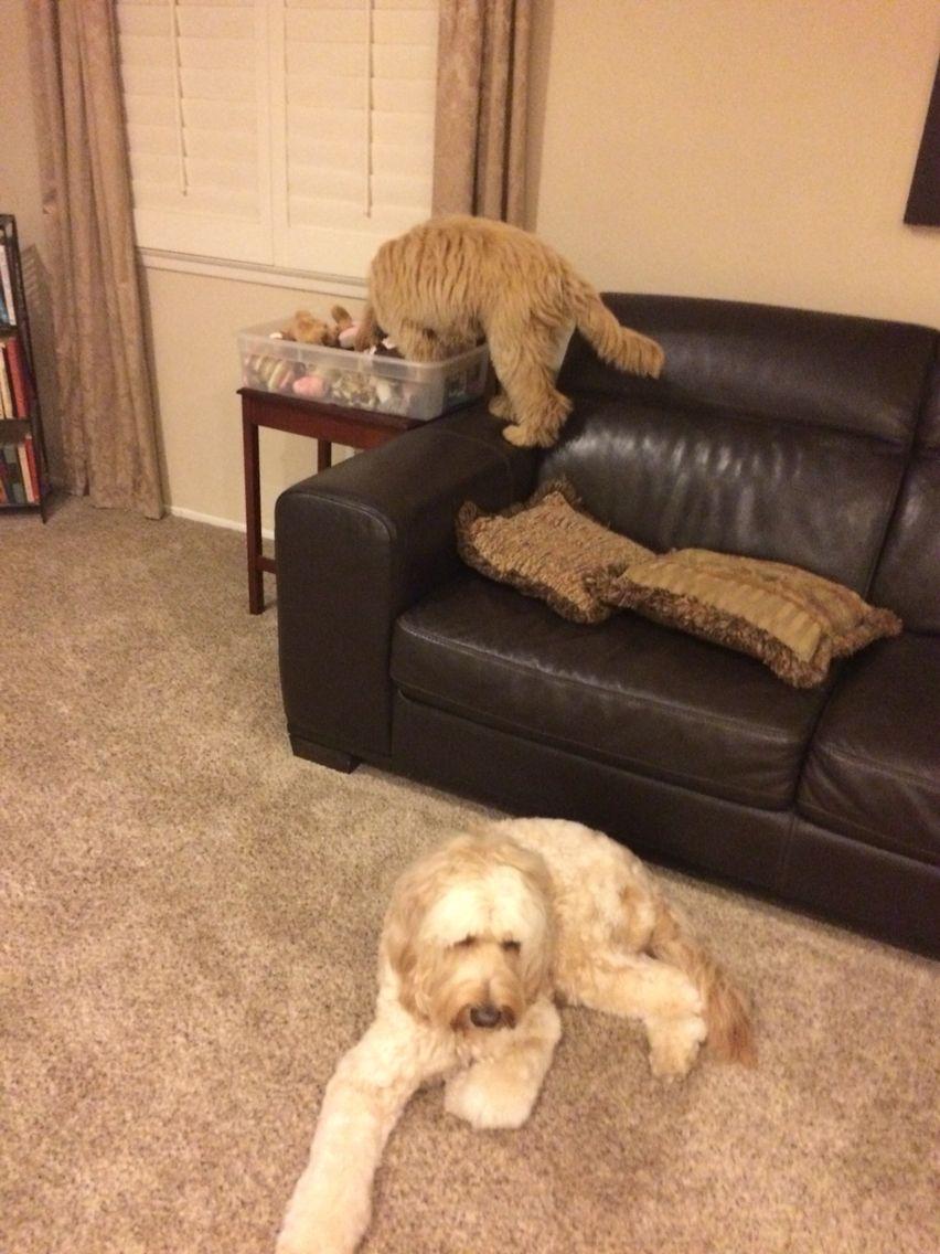 I got my toy labradoodle puppies animals