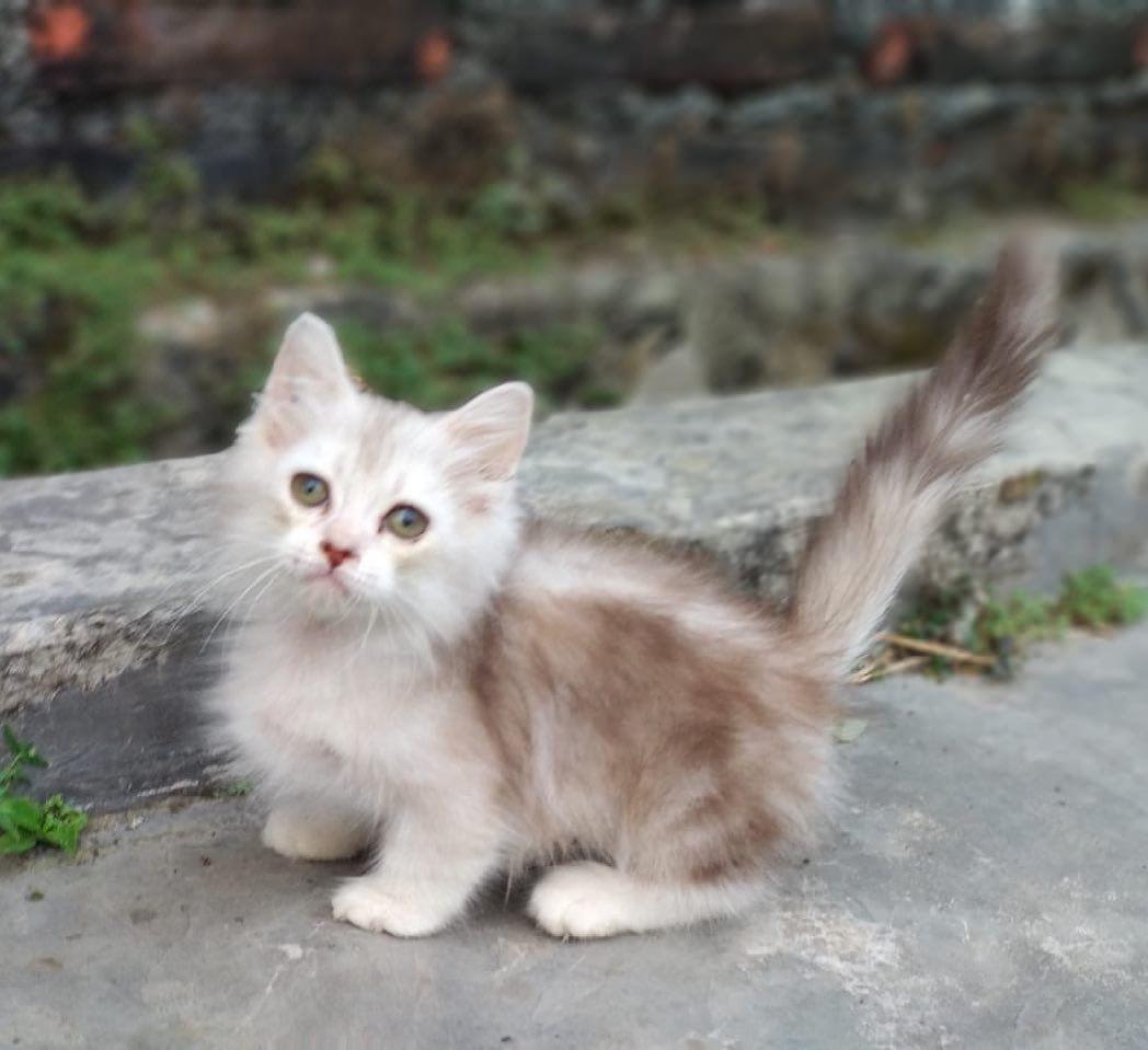 Open Adopt Kitten Jenis Munchkin Kaki Pendek Kelamin Jantan Usia 3bln Minat Bisa Langsung Wa 0823 3835 8316 Kucingpersia K Animals Cats