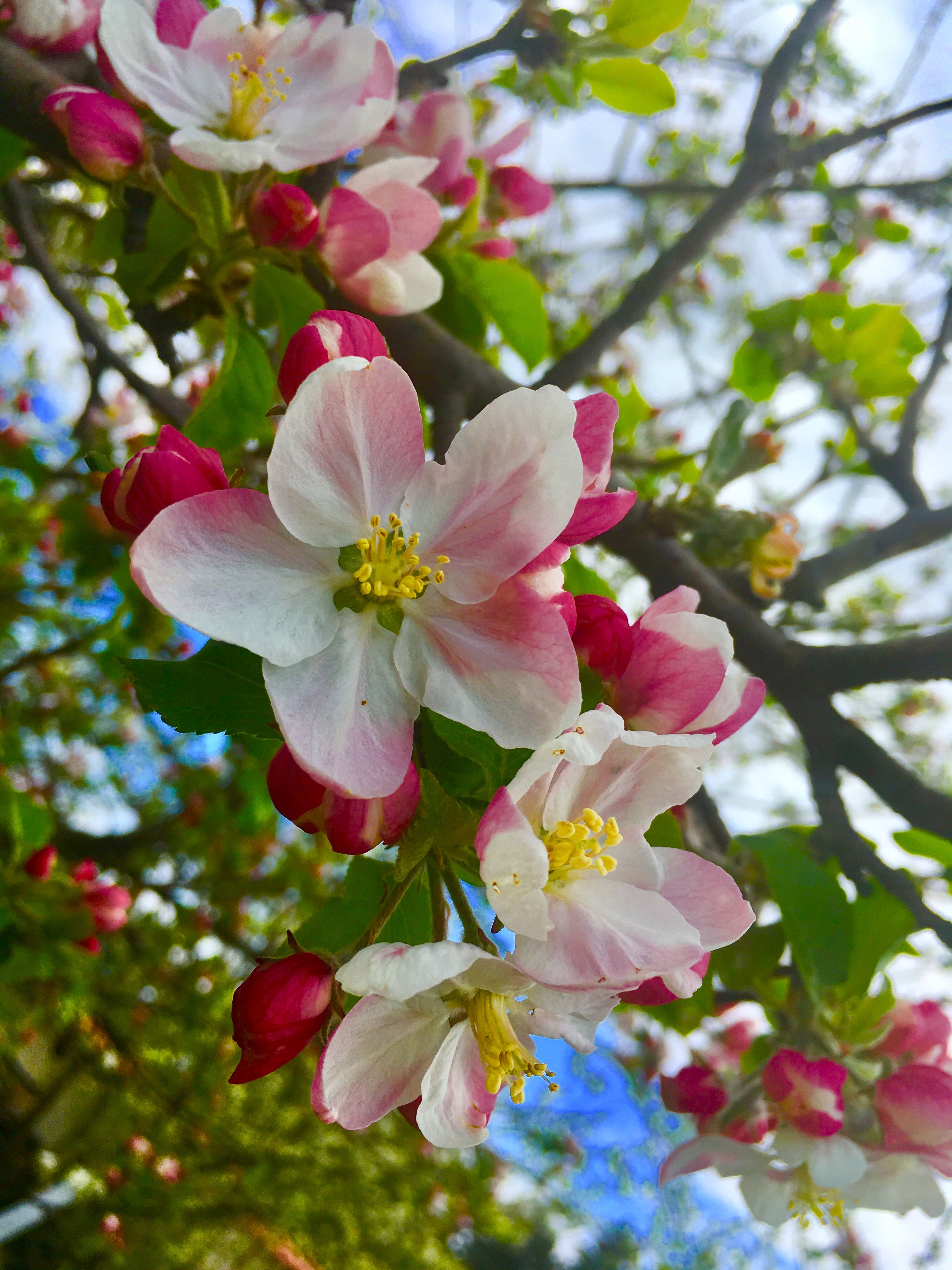 Flower Aesthetic Nature Apple Blossom Spring Love Blossom Flowers Spring
