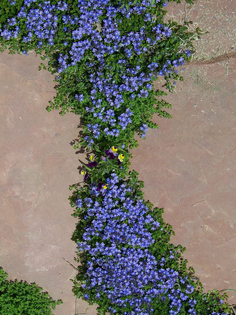 Turkish veronica blooming in flagstone patio ground covering