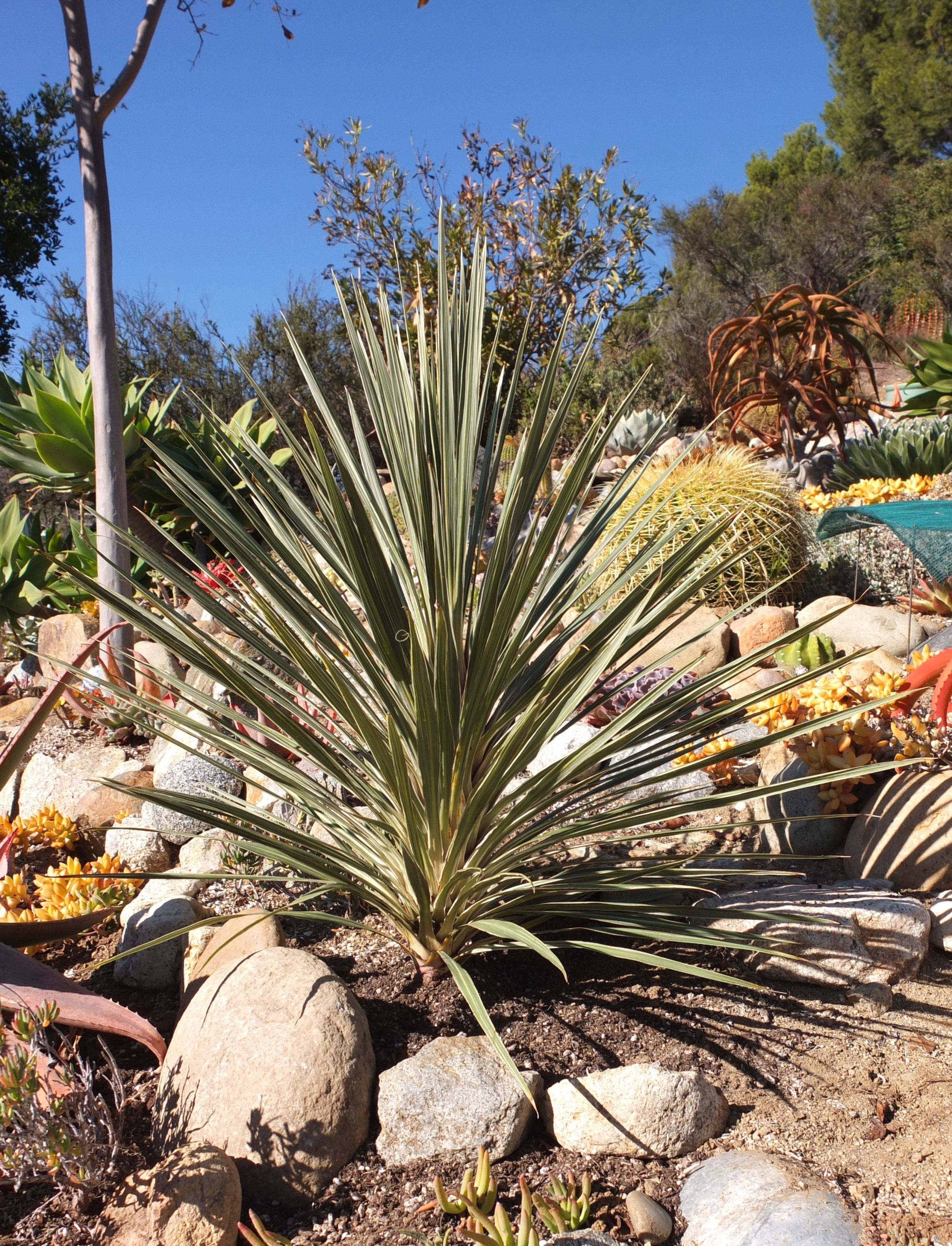 Cordyline Australis Pink Champagne Slow Growing To 6 Tall By 3 Wide Sun To Part Shade Small White Jasmine Scented Flowers In Plants Xeriscape Hardscape