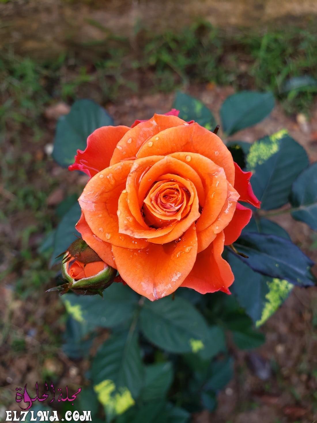 خلفيات ورد خلفيات ورود جميلة جدا خلفيات ورد طبيعي الورد من أكثر الأشياء التي ترسم البسمة وتبعث الر احة والت فاؤل بألوانها الز اهية وبرائ In 2021 Rose Flowers Blossom