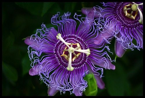 Passiflora Incarnata Google Search Passion Flower Purple Passion Flower Native Plants