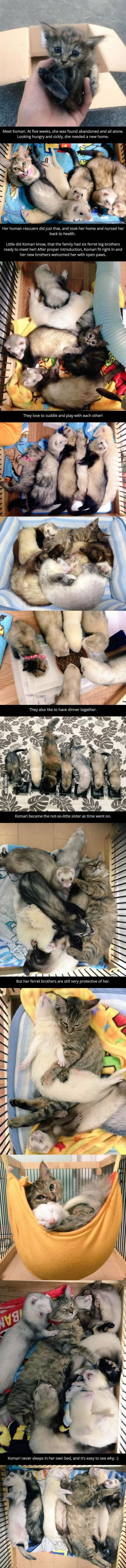 Cute five month old kitten adopted and taken in by adorable baby ferret family
