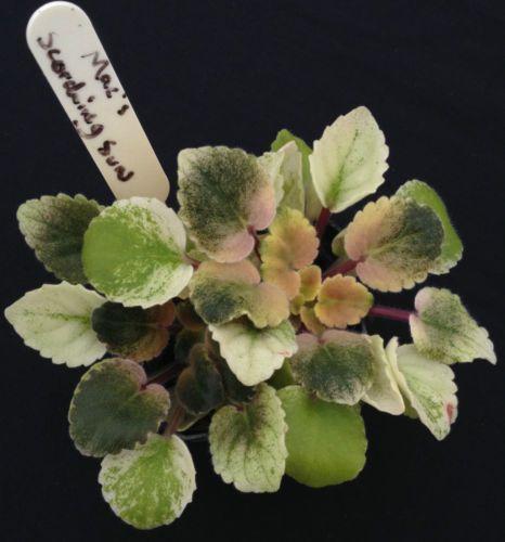 20 SEEDS RARE SINNINGIA TUBIFLORA  succulent exotic caudex african violet seed
