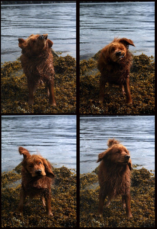 Shake Progression Hahah Puppies Golden Retriever Puppy Love