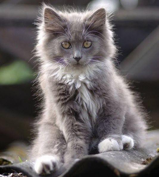 fluffy light gray cat - photo #15