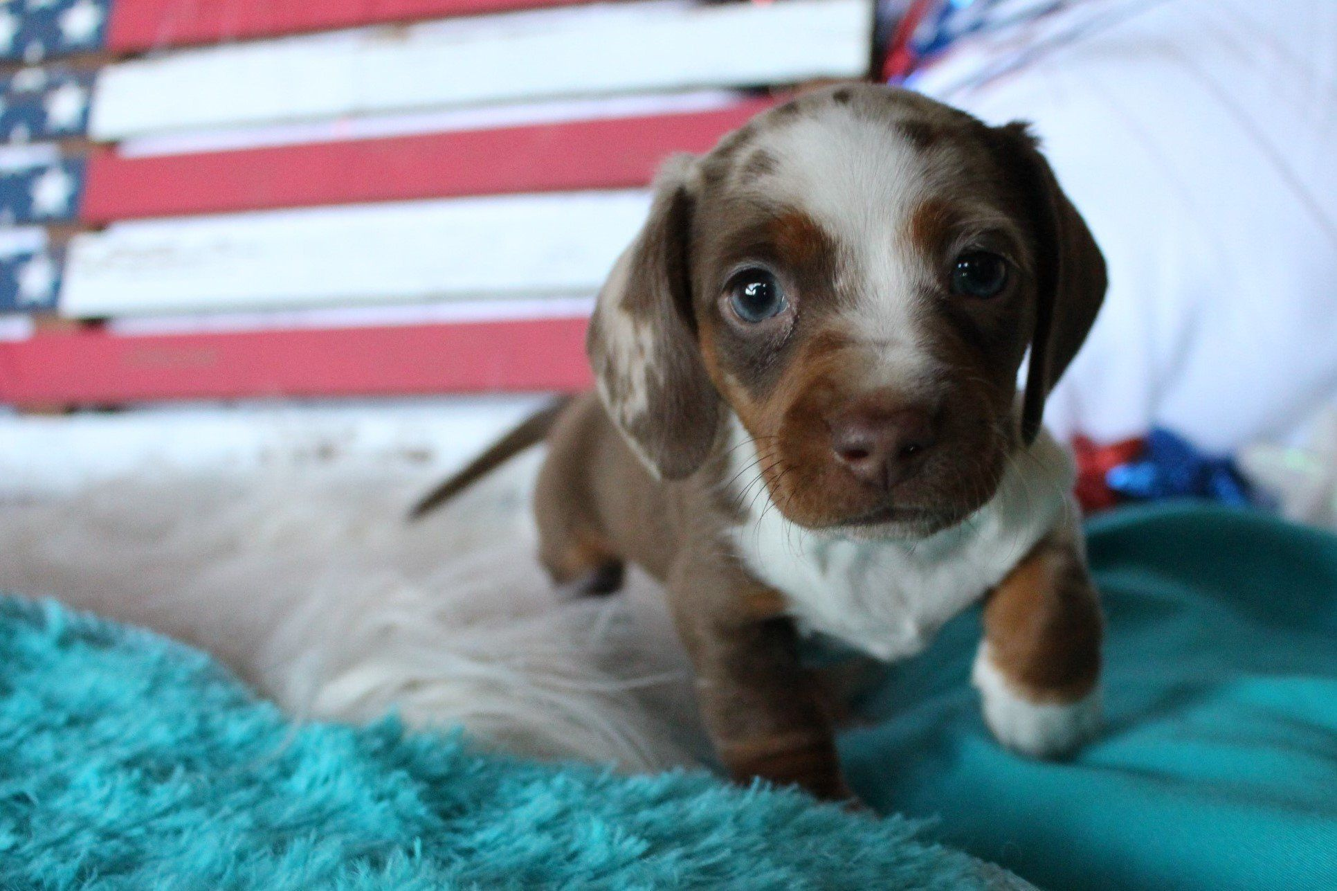 Gallery (With images) Dachshund puppies, Puppies