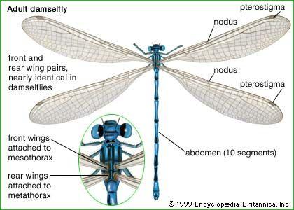 damselfly wings - Google Search | Damselfly | Pinterest