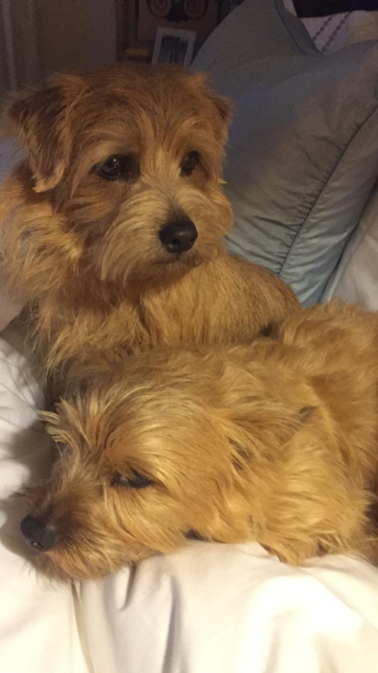 Todd & Valentino💕 | Norfolk terrier, Norwich terrier, Dog life