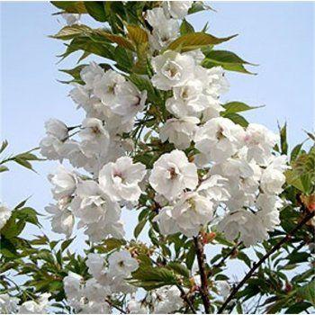 Prunus Shirotae Tree Flowering Cherry Tree Japanese Cherry Blossom Prunus