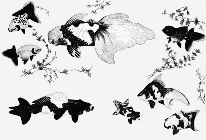 Varieties of gold fish from japanese paintings