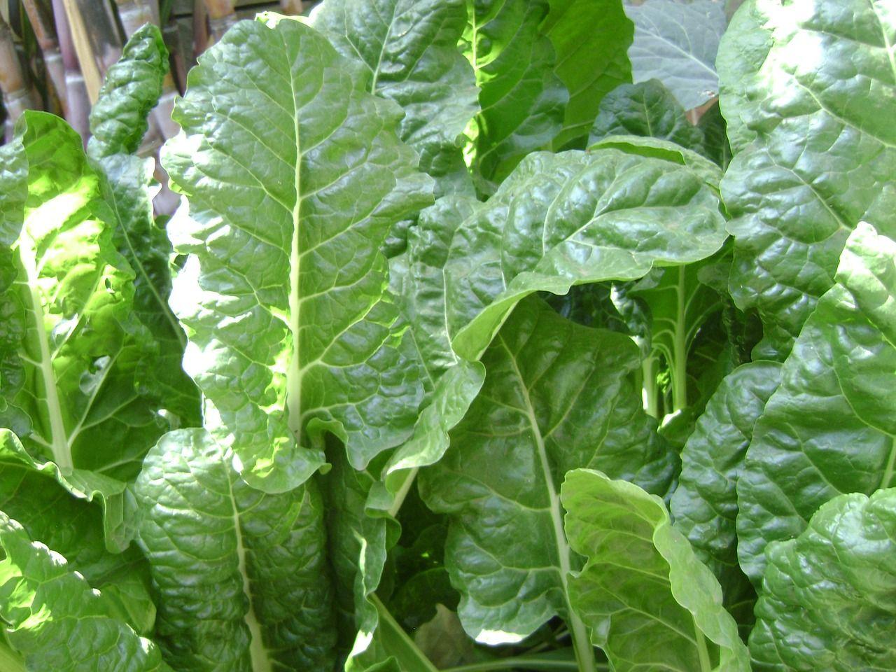 Faites prégermer vos épinards pour une récolte automnale