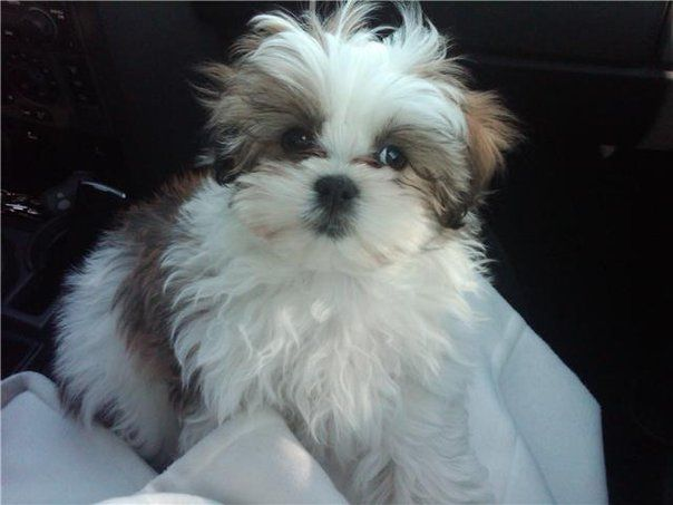 Shih Tzu Affectionate And Playful Archie And Friends Pinterest